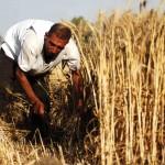 احتياطيات مصر من القمح تكفي حتى منتصف فبراير 2017