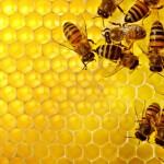 «نحلة» أغلى من سعر «بقرة»