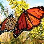 أنباء سارة عن تعافي الفراشات الملكية في المكسيك من الانقراض