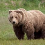 كاميرات في ألاسكا تكشف غموض مقتل الدب البني