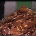 فيديو|سرطان الدجاج يدمر الثروة الداجنه المصرية