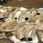 مصادرة 156 قطعة عاج قيمتها 670 ألف دولار في تنزانيا