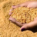 تجار: استبعاد القمح الأمريكي من مناقصة مصرية