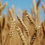 مصر تتوقف عن إرسال مفتشين لفحص القمح المستورد في الخارج
