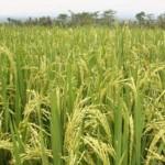 مصر تعتزم زيادة مساحة الأرز إلى 1.1 مليون فدان في 2019