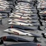 أسطول اليابان لصيد الحيتان يعود بحصيلة 333 حوتا