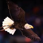 نفوق 5 من طيور النسر الأصلع في ديلاوير بأمريكا