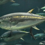 أمريكا تشدد على لوائح تمنع خلط أسماك التونة بلحم الدلافين