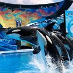 شركة سيوورلد توقف تربية المزيد من الحوت القاتل