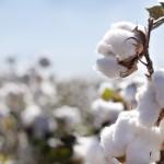 وزارة الزراعة الأمريكية تتوقع هبوط إنتاج القطن المصري في 2019-2020