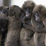 دراسات على القرود تؤكد إمكانية تكون أجسام مضادة تقي من كورونا
