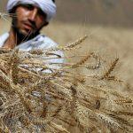 هيئة السلع التموينية المصرية تطلب قمحا للشحن في 21-30 نوفمبر