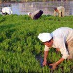 فيديو| التموين: مصر لم تتحول لدولة مستوردة للأرز