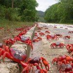 أسراب من السلطعون الأحمر تغزو شواطئ كاليفورنيا مرة أخرى