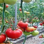 سوريا.. مزارعو طرطوس يستعيدون محصول الطماطم بدعم «الفاو» و«الأغذية العالمي»