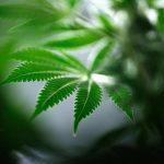 عاصمة كاليفورنيا قد تجني المليارات من تقنين الماريجوانا