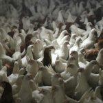 إعدام 30 ألف دجاجة في ألمانيا بعد إصابتها بإنفلونزا الطيور