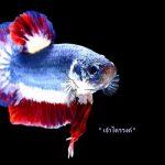 بيع سمكة بألوان العلم التايلاندي مقابل 1530 دولار