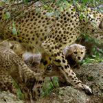 فهود الشيتا مهددة بالانقراض