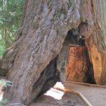 الفيضانات تسقط الشجرة النفق الشهيرة في كاليفورنيا