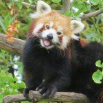 حديقة حيوان فرجينيا تنتفض بحثا عن «باندا حمراء»