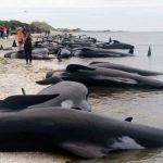 90 حوتا لا تزال جانحة على شاطئ نيوزيلندي بعد نفوق 300