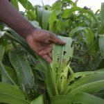 العلماء يحذرون: «دودة الحشد» تنتشر بسرعة في أفريقيا