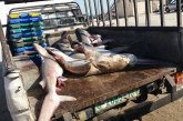 صور  أسماك القرش تغزو شواطئ غزة