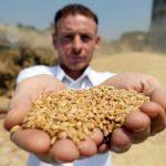 العراق يشتري أكثر من مليوني طن من القمح المحلي