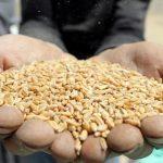 وزارة التموين: احتياطيات مصر من القمح تكفي أكثر من 3 أشهر