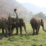 سلطات الحياة البرية الماليزية تحقق في نفوق أفيال مهددة بالانقراض