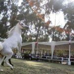 رغم مآسي الحرب.. سوريا تحتضن سلالات نادرة من الخيول العربية