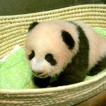 صور  حديقة حيوان طوكيو تطلق اسم «عبير» على وليدة الباندا