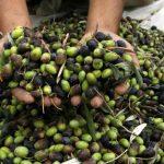 حملة بريطانية لمساعدة الفلسطينيين في قطف الزيتون