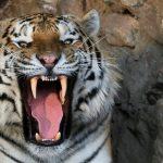 نمر سيبيري يهاجم حارسة بحديقة حيوان في روسيا