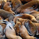 العلماء الروس في حيرة بعد ظهور عشرات من جيف حيوان الفقمة على شاطئ