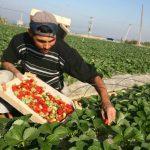 للمرة الأولى.. غزة تصدر «الفراولة» إلى السوق السعودية