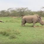 فيديو  آخر وحيد قرن أبيض على وجه الأرض مهدد بالانقراض