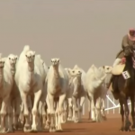 فيديو| استبعاد جمال تم حقنها بالبوتوكس في مهرجان الملك عبد العزيز للإبل