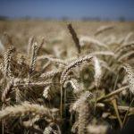 مصر تخفض نسبة البروتين المطلوبة في القمح الروسي والأوكراني والروماني