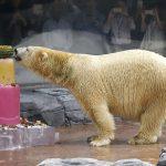 سنغافورة تودع أول دب قطبي يولد في مناخ مداري