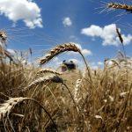 وزارة التموين المصرية: الاحتياطي الاستراتيجي من القمح يكفي 5 أشهر