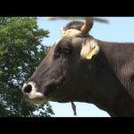 البقرة البلغارية الشاردة بينكا تنجو بحياتها بعد احتجاج دولي