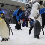 فيديو| «سكي إيجيبت» تستقبل البطاريق اليابانية