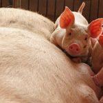 حالات جديدة لحمى الخنازير الأفريقية بالصين وفيتنام تعزز إجراءات لمنع انتشارها