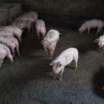 بسبب الحمى.. الصين تحظر واردات الخنازير من اليابان وبلجيكا