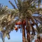 فيديو  أكثر من مليون نخلة.. سكان البدرشين يبدأون موسم جني البلح في مصر