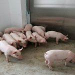 الصين تؤكد انتشارا جديدا لحمى الخنازير الأفريقية في منطقة قوانغشي