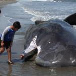 متطوعون بنيوزيلندا ينجحون في إعادة 6 حيتان تقطعت بها السبل إلى المحيط
