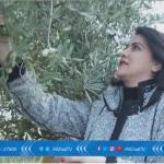 فيديو| وزان المغربية تبدأ حصاد الذهب الأخضر